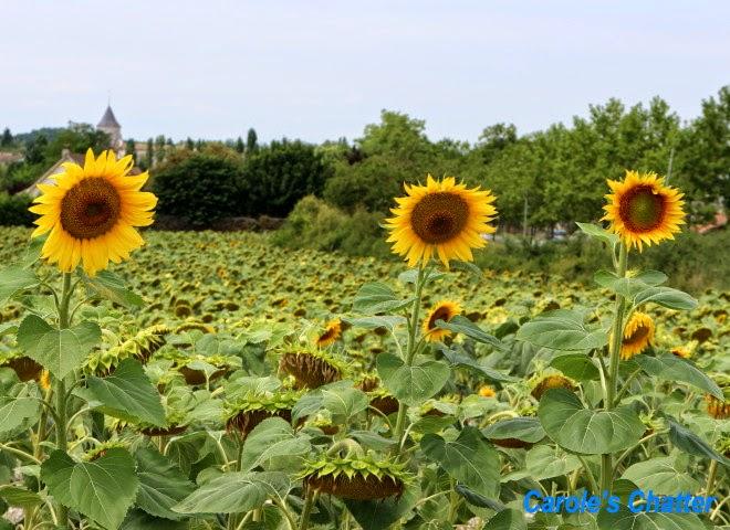 Sunflowers, Lot et Garonne, France by Carole's Chatter