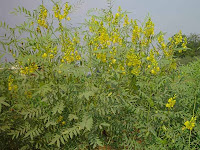 Daun Jati Cina ( Senna Leaf ), Cassia Angustifolia.