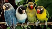 #11 Parakeet Wallpaper