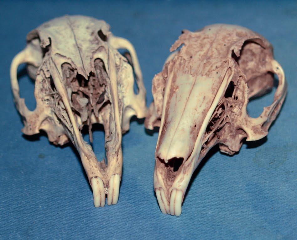 sam dunn  new rat skull
