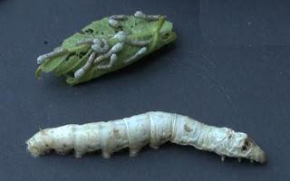 ulat sutera makan daun murbei
