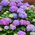 How To Grow Hydrangeas From Cuttings #Flowers