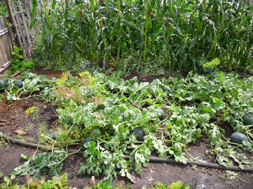Подрастающие арбузы в открытом грунте