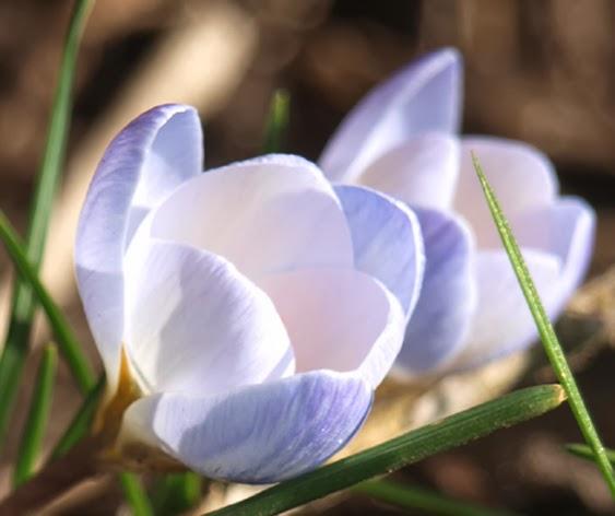 """Botaniske krokus """"Blue Pearl"""" er en af de tidligste blomster i haven"""