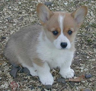 Pembroke Welsh Corgi Puppy Pictures