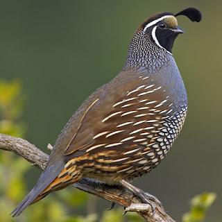 California Quail Bird Pictures