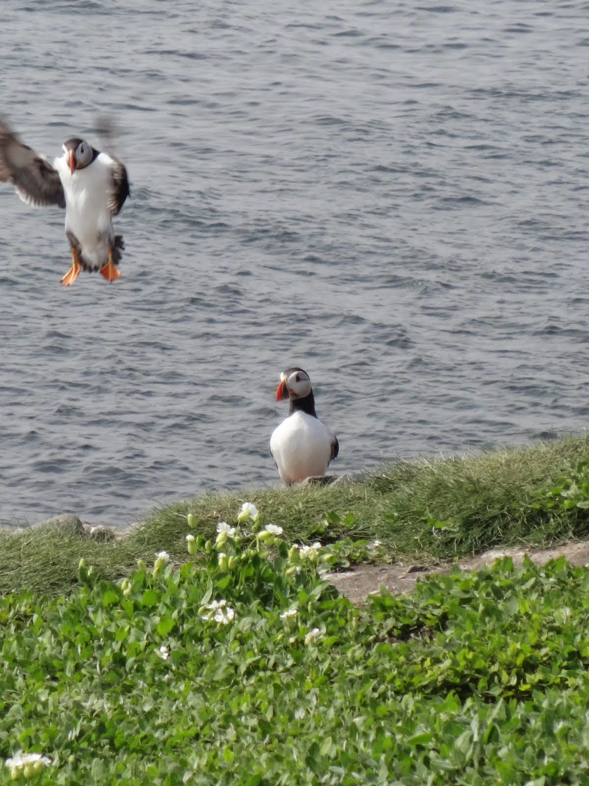 Puffin coming in for a landing
