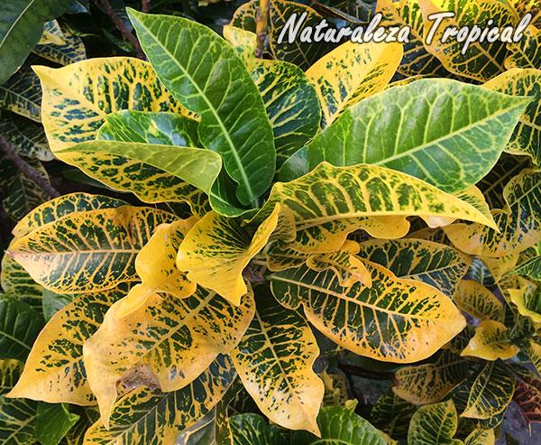 Detalles de las hojas de un Croton, Codiaeum sp