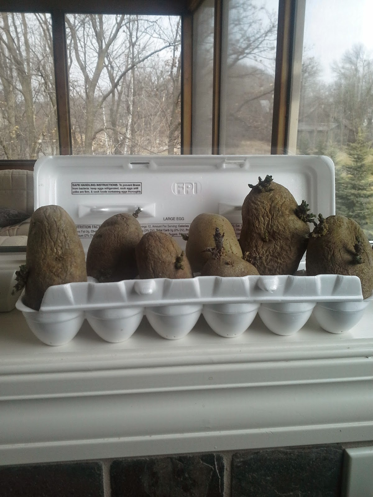 Growing potatoes and how to get them to to chit