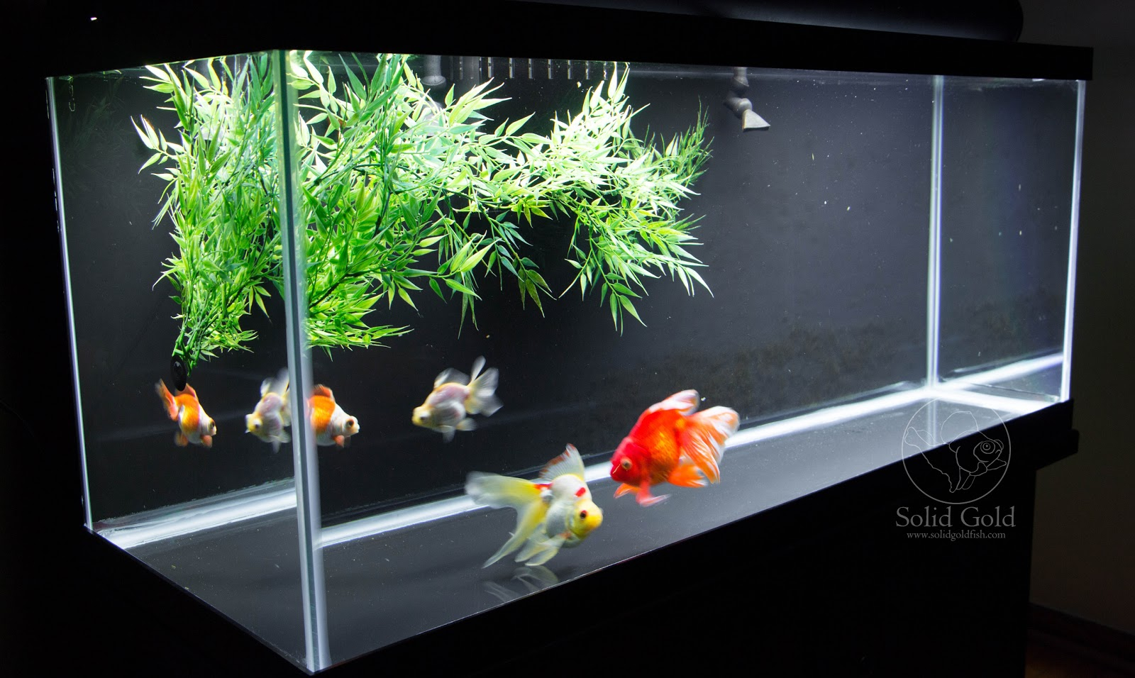 75 gallon aquarium goldfish 75 gallon goldfish aquarium for Fish tank for goldfish