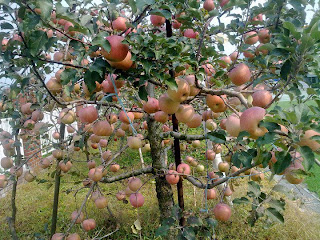 Apple Tree Wallpapers