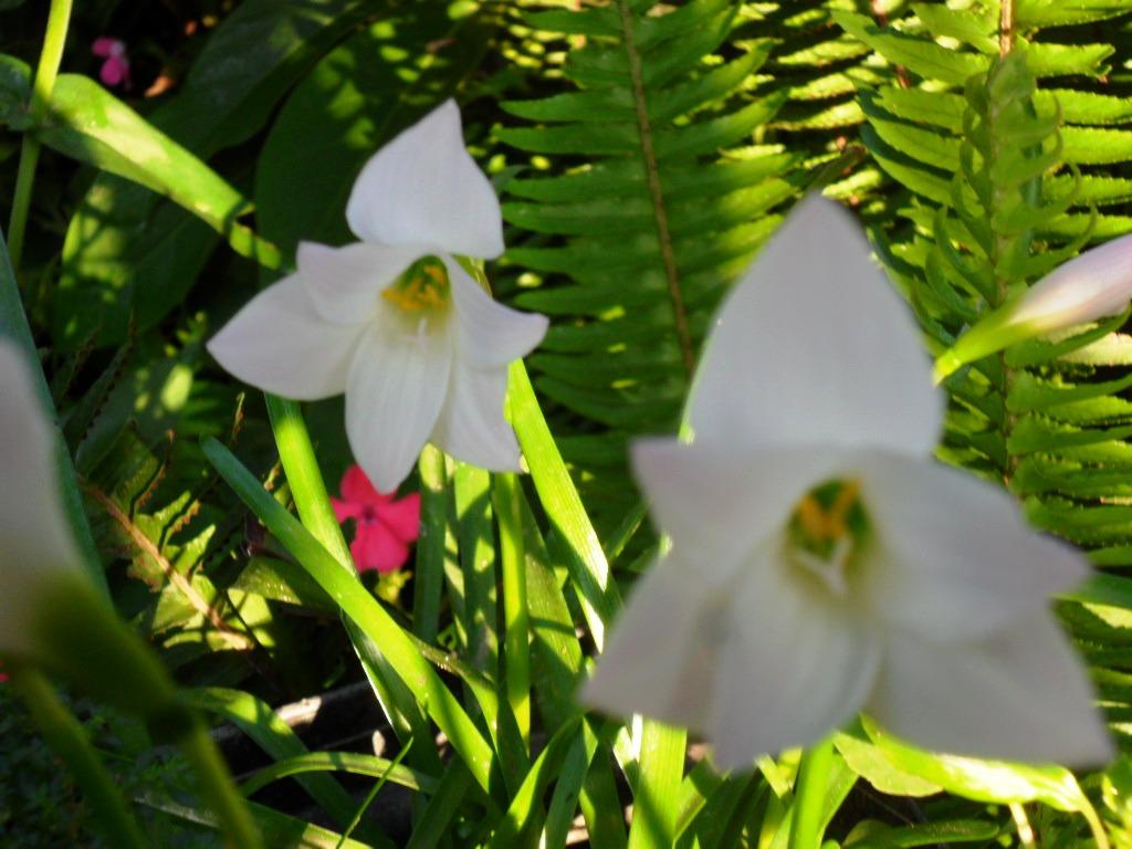 Como plantar crocus minimus y sativus mi patio ecol gico - Como cultivar azafran ...