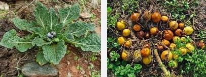mandrake dangerous herbs