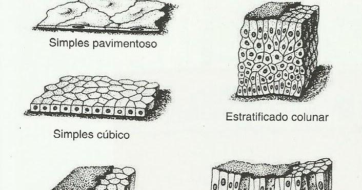 histologia  tecido epitelial de revestimento