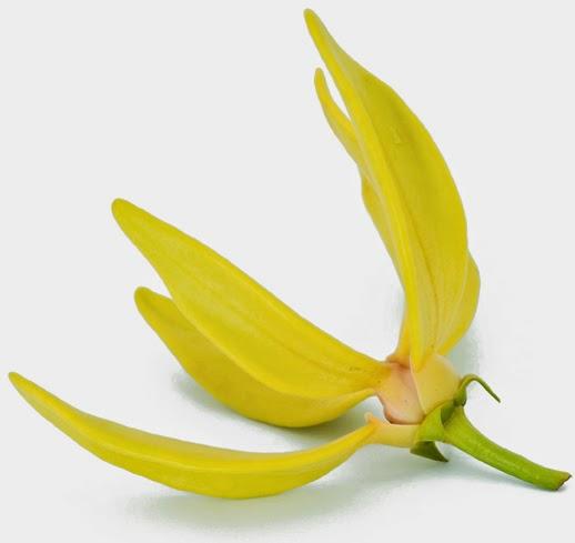 ylang ylang główny składnik possess