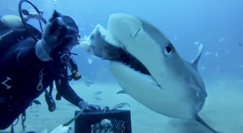 Divers hand feed and pet tiger shark on GoPro video