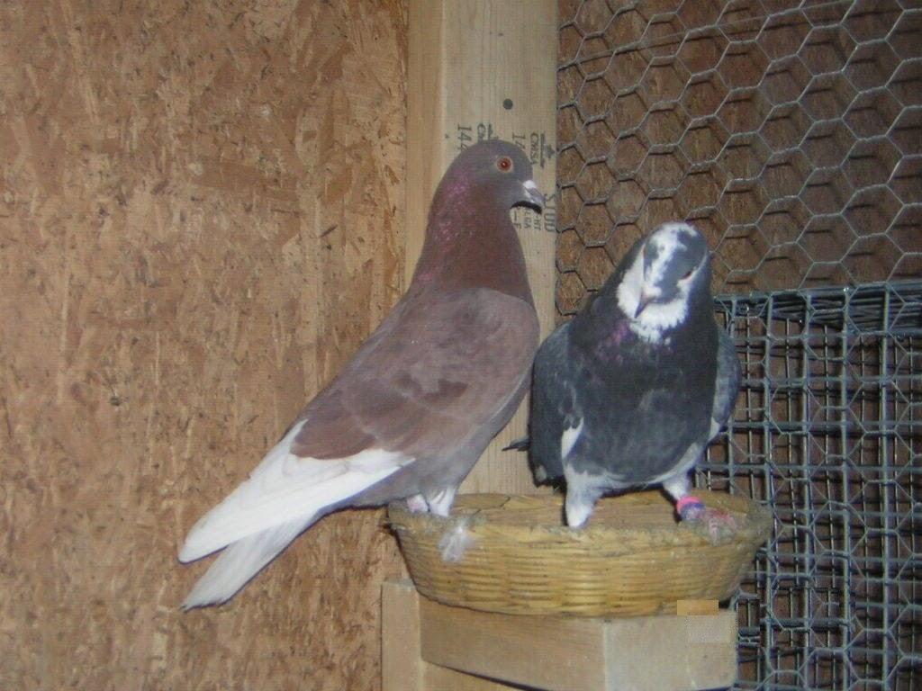 Roller pigeons - photo#13