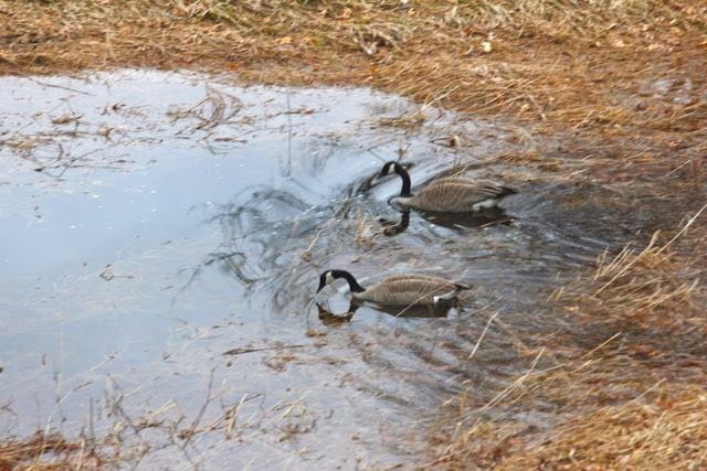 """Canada geese entering our """"wet spot"""""""