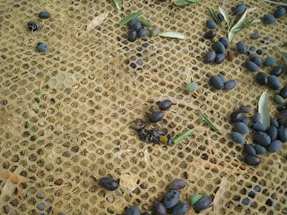 squashed olives on net for picking