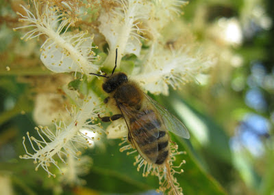 Bee in Lophostemon confertus