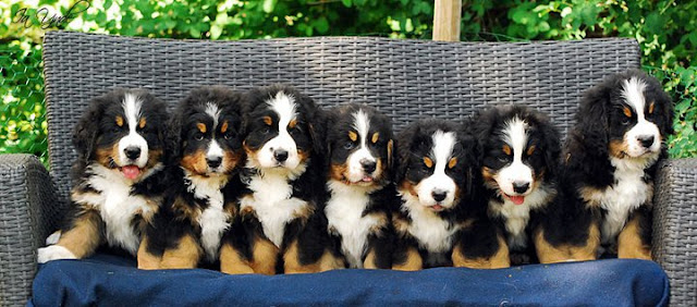 Bernese-mountain-dog-training