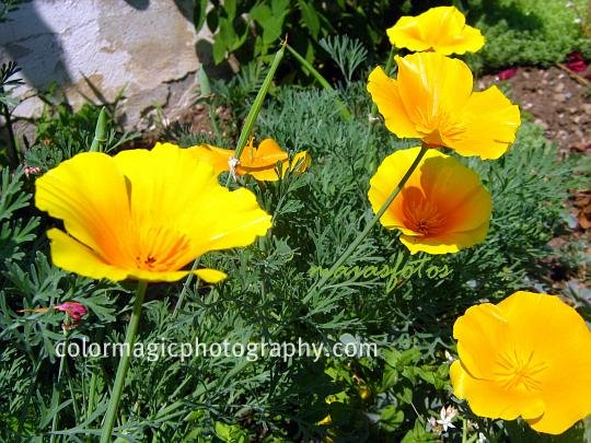 California poppies-golden poppies