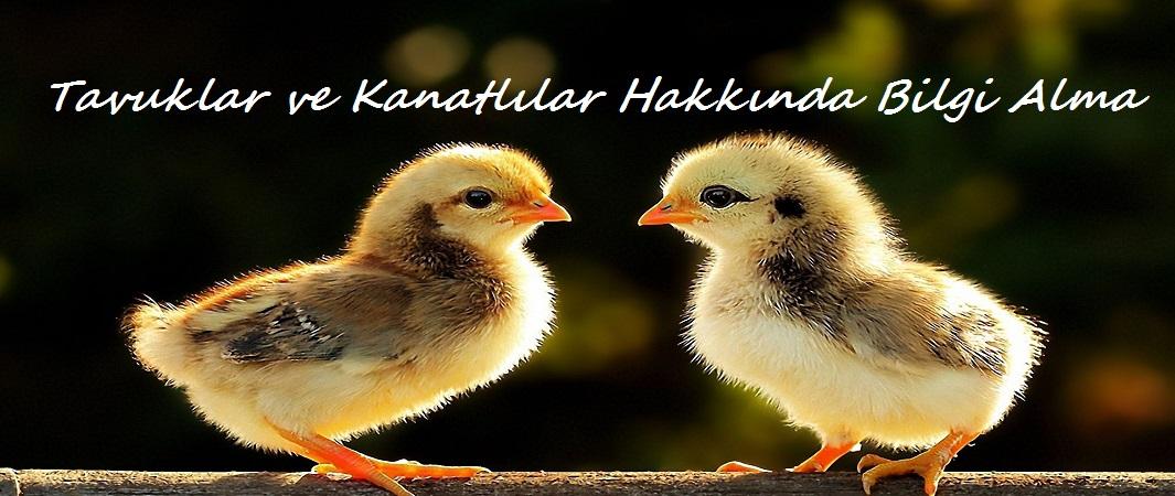 Tavuklar ve Kanatlılar Hakkında Bilgi Alma