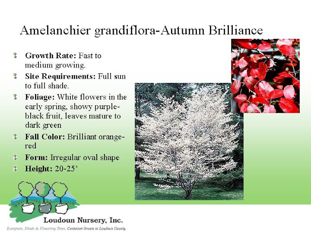 Autumn Brilliance Serviceberry Tree1