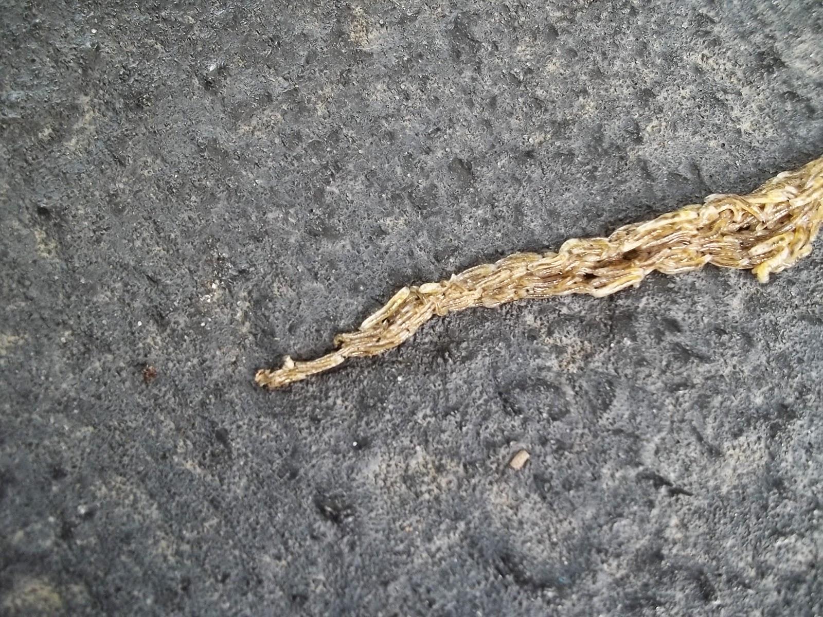 how to kill fungus gnat larvae