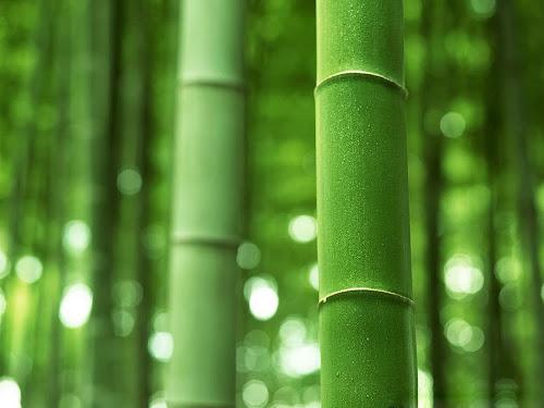 Koleksi Gambar Hutan Bambu Baru