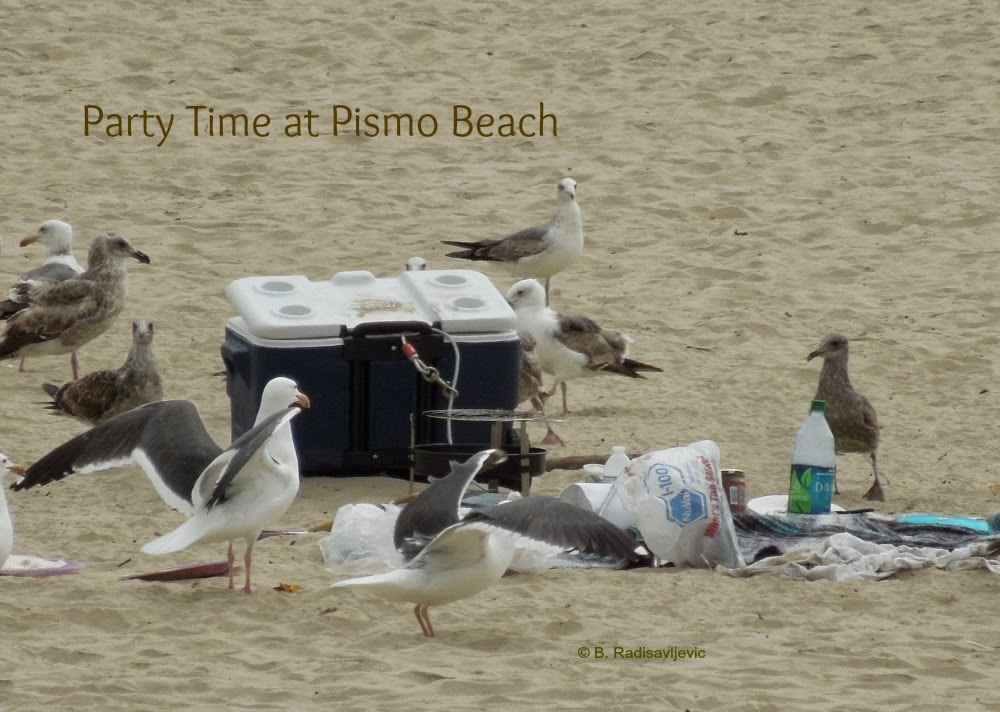 Sea Gull Feast at Pismo Beach, © B. Radisavljevic