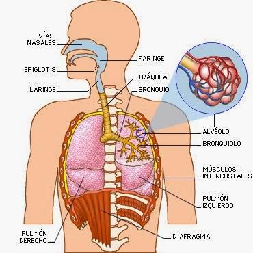 Anatomía humana y funcional.: Anatomía del aparato respiratorio