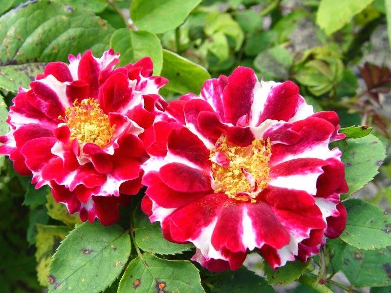 Piante e fiori vecchie rose 7 gruppo ibridi perpetui - Fiori gialli profumati ...