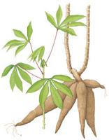 Pohon singkong atau Ketela
