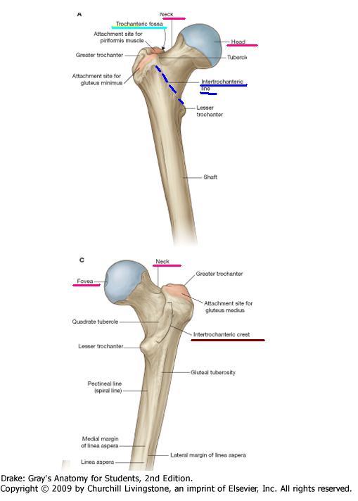 Anatomía UNAM: FÉMUR