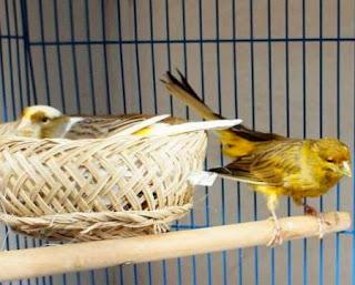 Tips Beternak Burung Kenari Yang Baik dan Benar