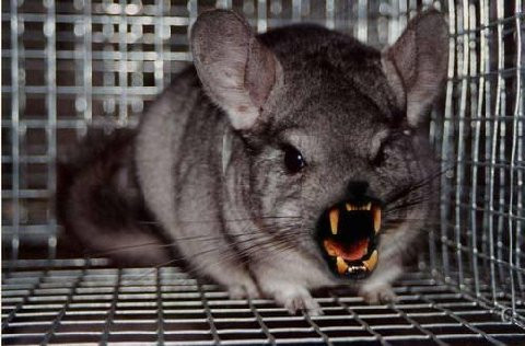 Latest Funny Pictures Funny Chinchilla Images