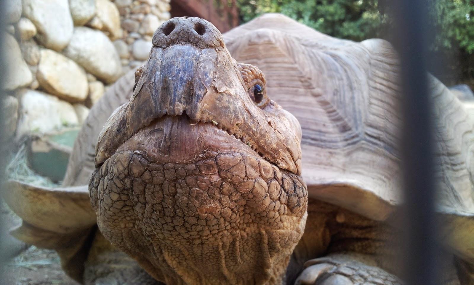 Schildkröte im A Cupulatta