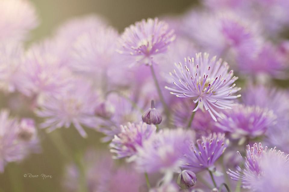 Thalictrum aquifolium (meadow-rue)