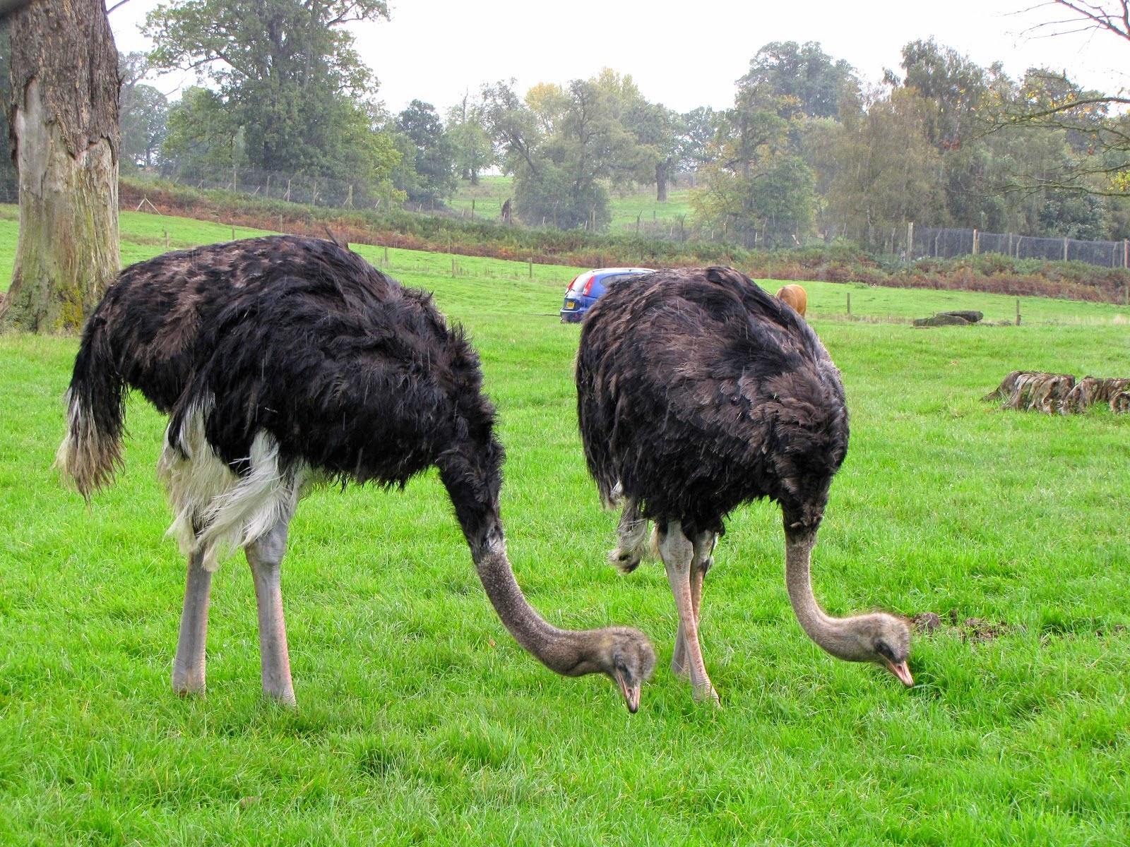 birds desert ostrich hd - photo #19