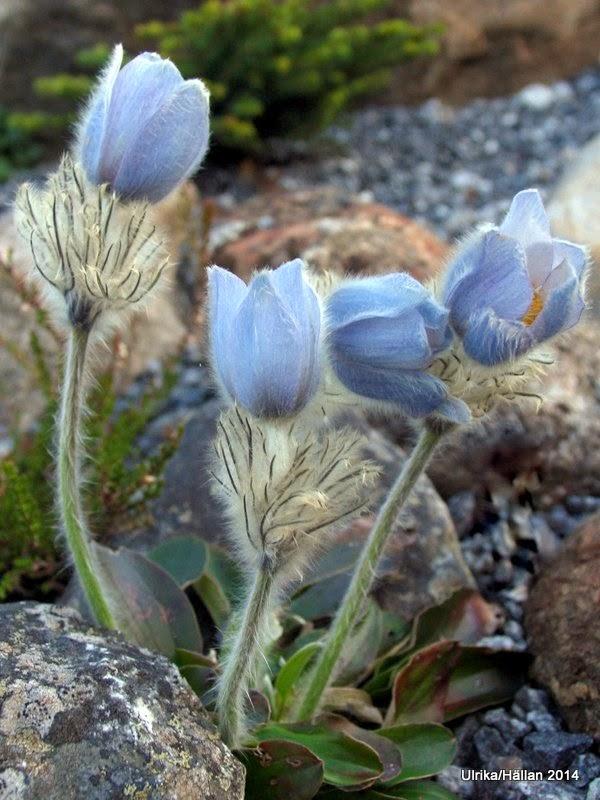 Pulsatilla integrifolia (Miyakea)