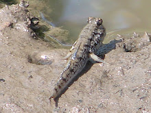 Mudskipper, Lamin, The Gambia