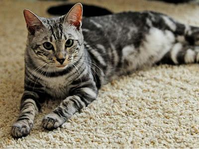 foto kucing bengal 07