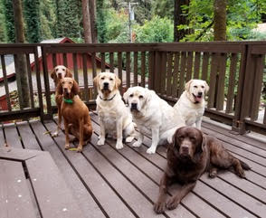 The Labrador cousins we spend a lot of time with, Harley, Murphy, Maddie, and Luke.