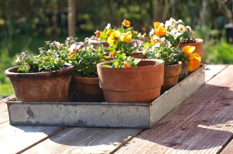 Hornvioler og stedmoderblomster i orange toner