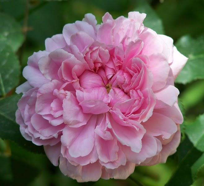 Piante e fiori vecchie rose 8 e 9 gruppo rose for Rose piante