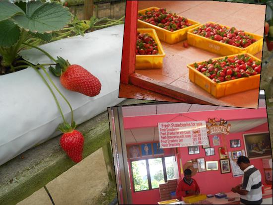 Rajus Hill Strawberry Farm