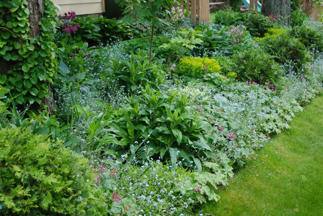 The Shade Path Garden this week: blue forget-me-nots (Myosotis), chartreuse wood spurge of a more delicate variety and various shades of columbine (Aquilegia in 'Nora Barlow' and granny's bonnet styles).
