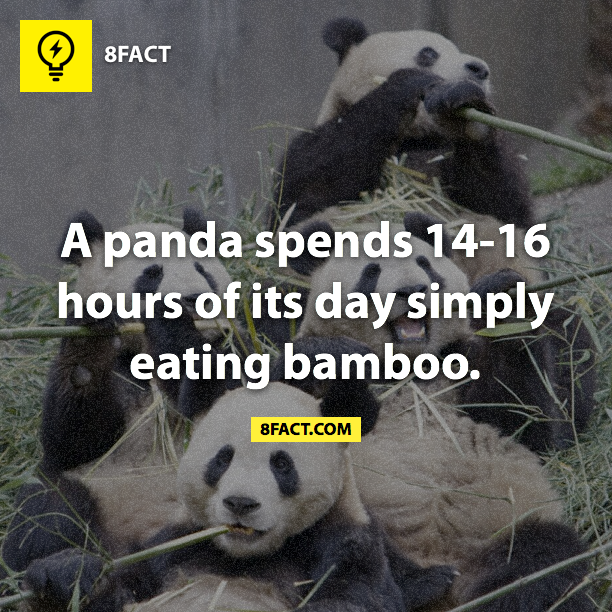 A panda spends 14-16 hours of its day simply eating bamboo.