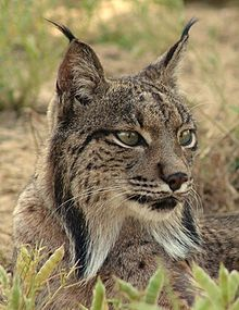 Iberian Lynx Cat, Iberian Lynx Kittens,Iberian Lynx cubs,Lynx facts and images.